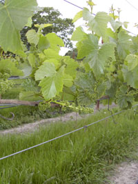 nunes_vineyard (18K)