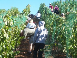 Wine Boot Camp: Working in the vineyard