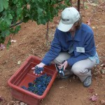 Wine Boot Camp: Recruits work harvest